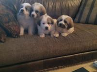 These outstanding puppies are placed with complete