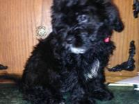Cute CKC Registered female and male shih -poo puppies .
