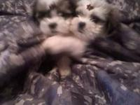 CKC Registered Malshi puppies for sale. Malshi's are