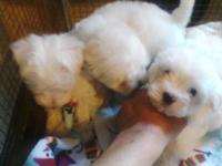 I have 4 beautiful Maltese puppies for sale. They are