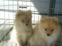 I have 2 purebred CKC registered male Pomeranians for
