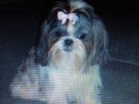 Stunning, CKC registered Shih tzu young puppies. My
