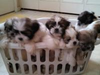 Beautiful CKC signed up Shih tzu puppies. Home raised