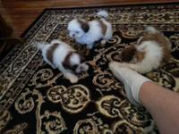 I have 3 beautiful ckc registered shih tzu puppies for