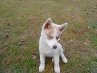These Siberian Husky puppies have been wormed, and have
