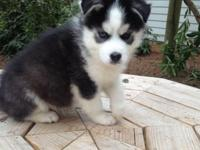 Up for sale are 3 male CKC registered Siberian Husky