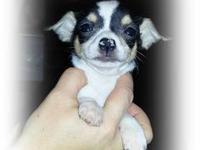 I have two very cute chihuahua puppies ready for a new