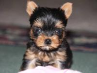 I have beautiful , super tiny teacup yorkie puppy. She