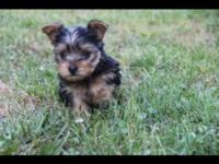 I have 3 beautiful Yorkie babies , 1 girl and 2 boys .