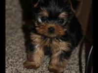 I have 4 beautiful yorkie babies . They are 8 weeks old