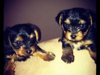 CKC Registered Yorkshire Terriers. Born May 18th & will