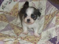 Beautiful Shih-Tzu puppies born June 11th, 2012 and