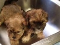 Two male n 2 females puppies born Mother's Day May 10,