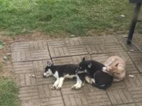 We have 2 stunning Siberian Husky puppies for sale,