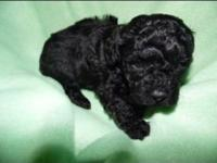 Tiny toy Poodle fur babies..Jet Black, vet checked ,