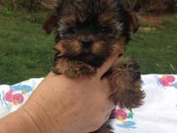 Our CKC registered Yorkshire Terrier puppies have