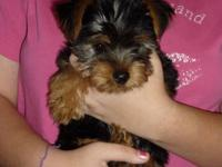 Absolutely beautiful Yorkshire Terrier Puppies, 8 weeks