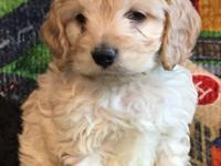 We have 3 house and hand raised cockapoo puppies left