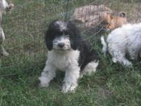 Beautiful male Cockapoo puppy for sale. Very cuddly,