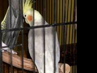 Beautiful pair of cockatiels! Male & Female. Beautiful