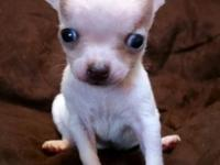 Purebred Chihuahua Puppies. Weaned and eating puppy