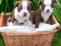 AKC Registered Pure Bred Red And White Boston Terrier