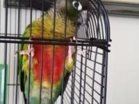 Stunning conure sweet as can be we are vacating state