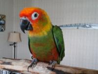 Gold capped conure sweet as can be to everyone! 3 years
