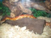 Having to sell my corn snake. I have had him for 4
