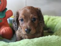 Hi. I have two gorgeous miniature dachshund puppies,