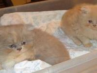 Beautiful Cream Persian Male baby D.O.B. 5-4-2015