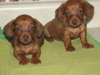 2 tiny females, solid red with red nosed dachshunds.