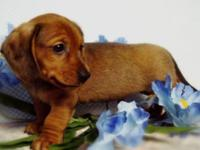 Beautiful Dachshund puppies for sale. For quick reply