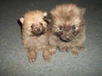 I have 4 adorable Pomchi puppies up for sale mama is a