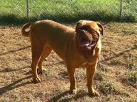 Beautiful dogue de bordeaux ( French mastiff ) female