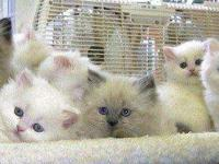 We have 7 beautiful male / female doll face Persian