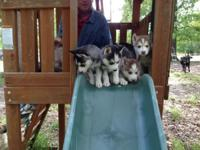 WE HAVE THE THE MAJORITY OF BEAUTIFUL SIBERIAN HUSKY