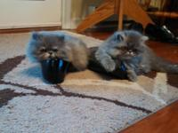 We have two males--shaded blue Persian and blue point