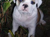 English bulldog pup male red mask face. 5 months. He's