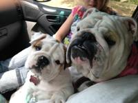 Bulldog Breeder for over 40 years.... I only breed the