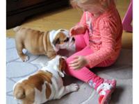 Beautiful English bulldog puppies, the puppies are