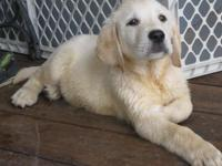 We have a beautiful Male English Labrador pup out of