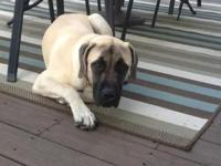 Beautiful fawn English Mastiff for sale. He is almost 9