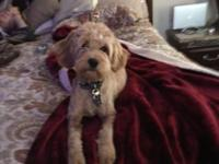 Mini English Female Goldendoodle Puppy 6 months and