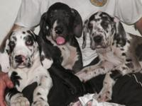 Remmington Danes has puppies from numerous trashes of