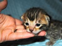Brown detected Bengal kitty available for sale and is