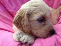 F1 Goldendoodle babies. I have males and females