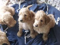 Gorgeous F1 Irish doodle puppies. Mama is a lovely