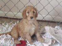 Stunning F1 Irish doodle young puppies. Mommy is a