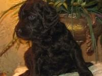 I have 9 beautiful curly F1b Chocolate Goldendoodle